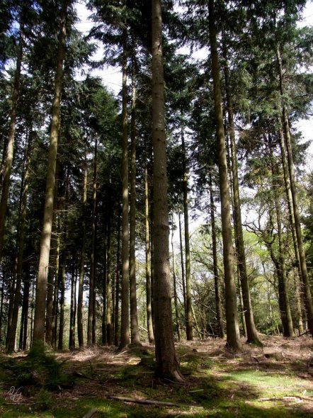 Pine woods in the New Forest