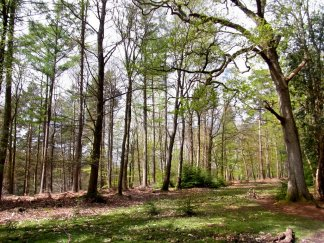 Spring flushing the New Forest woodland