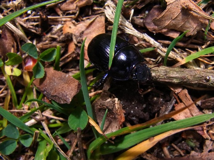 1 of 3 British dung beetles- Dor beetle in metallic purple hue