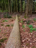 felled Scot's Pine - New Forest