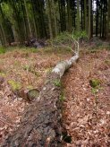 felled Silver Birch - New Forest