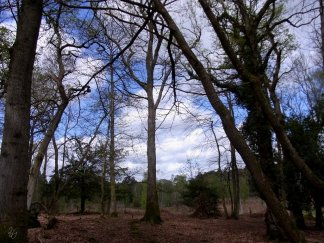 deciduous woodland - New Forest