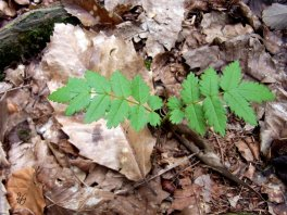 sapling in the woodland floor - New Forest