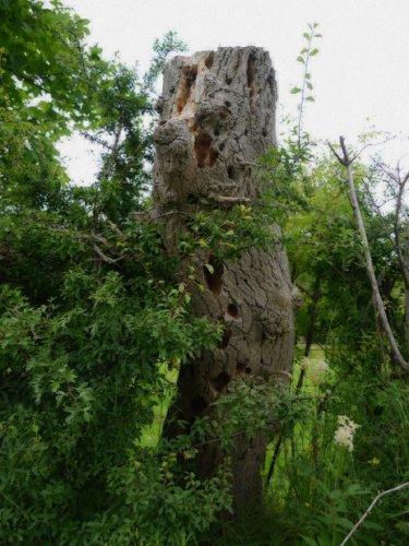 woodpeckered snag