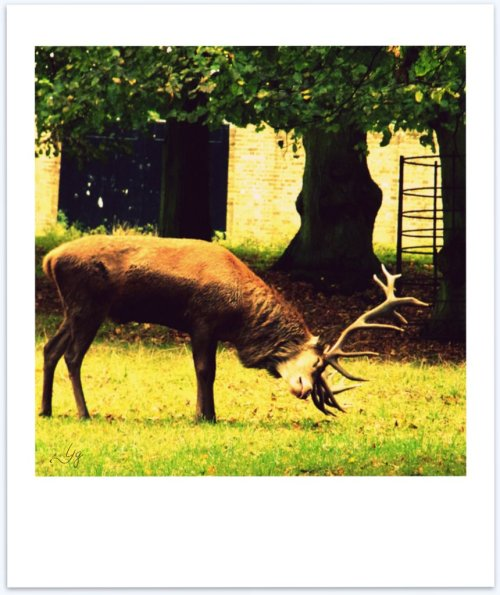 red stag in rut - polaroid poems 'seeing red'