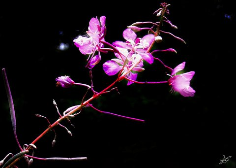 photoart rosebay willowherb poem