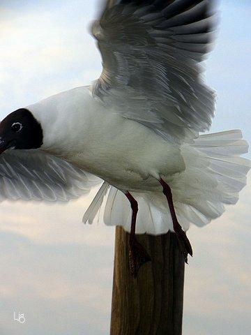 gull in free flight