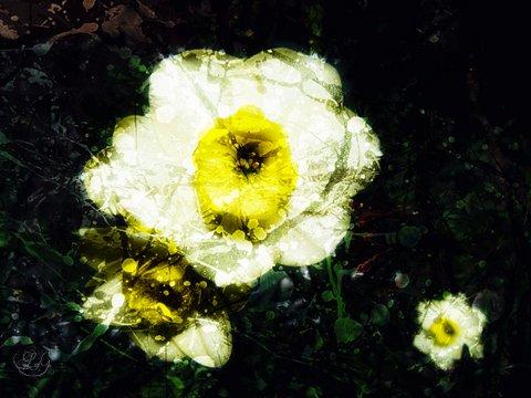 daffodils - snow blind poem