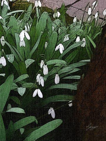 photoart & poem - snowdrops