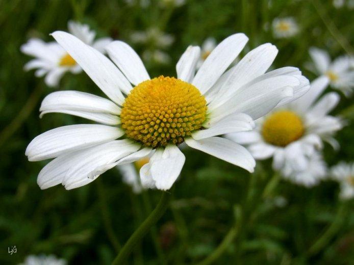 Ox-eye daisyies