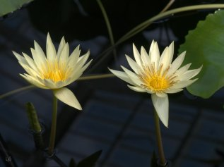 Yellow waterlilies, Kew