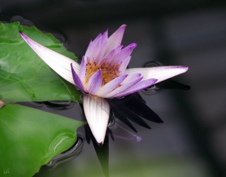 purple waterlily, Kew