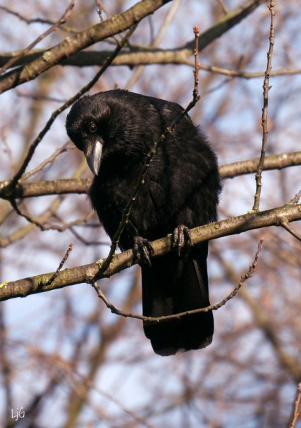 young crow with steely eye and beak