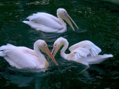 the three pelicans of St James' park