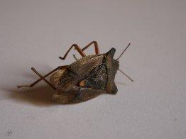 shield bug's last battle