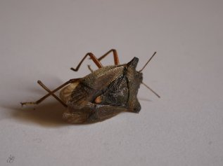 shield bug's last battle