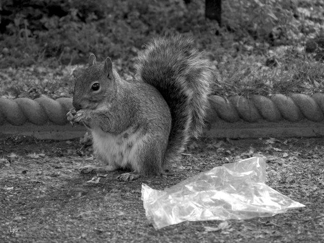 squirrel_litter_mono_silky