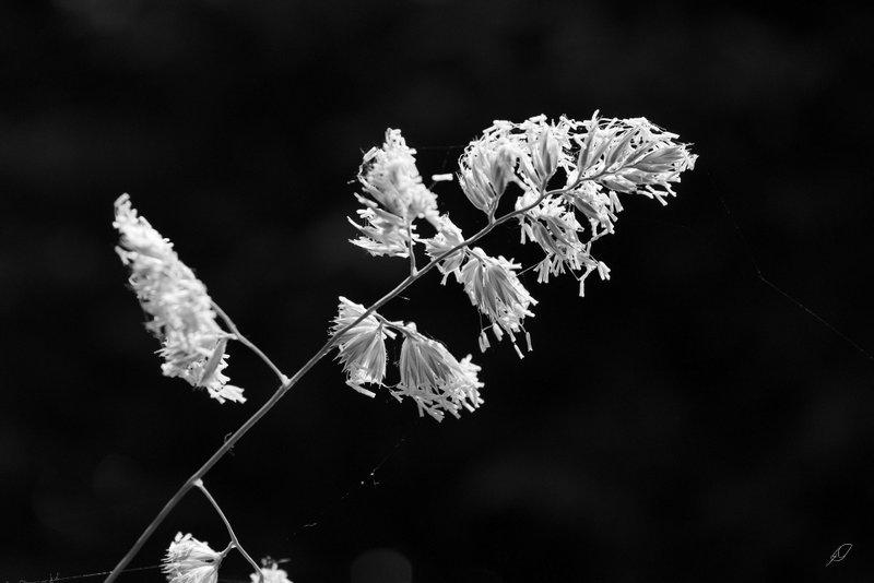high contrast mono - grasses macro