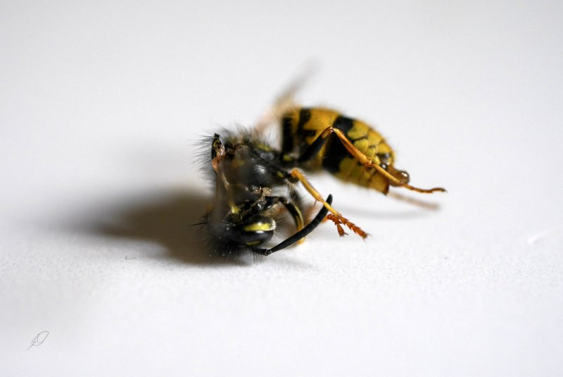portrait of a dead wasp